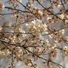 池田山の桜 3