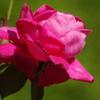 薔薇 47