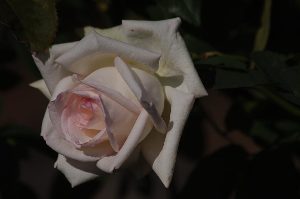 薔薇 40