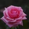 薔薇 14