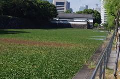 お濠も水草でいっぱい