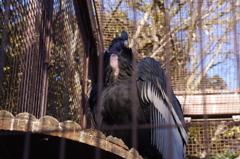 コンドル 上野動物園
