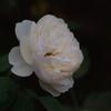 薔薇 27