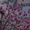 シモクレンと桜