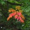秋のハシリ ハゼの紅葉