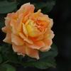 薔薇 22