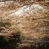 目黒川の桜 4