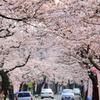 桜トンネル ~越前湊さくらまつり~