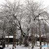 冬に咲く ~足羽山枝垂桜~
