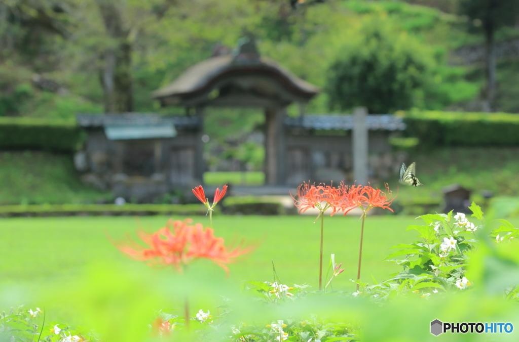 唐門と彼岸花、そこへ蝶
