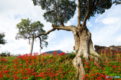 大樹と曼珠沙華