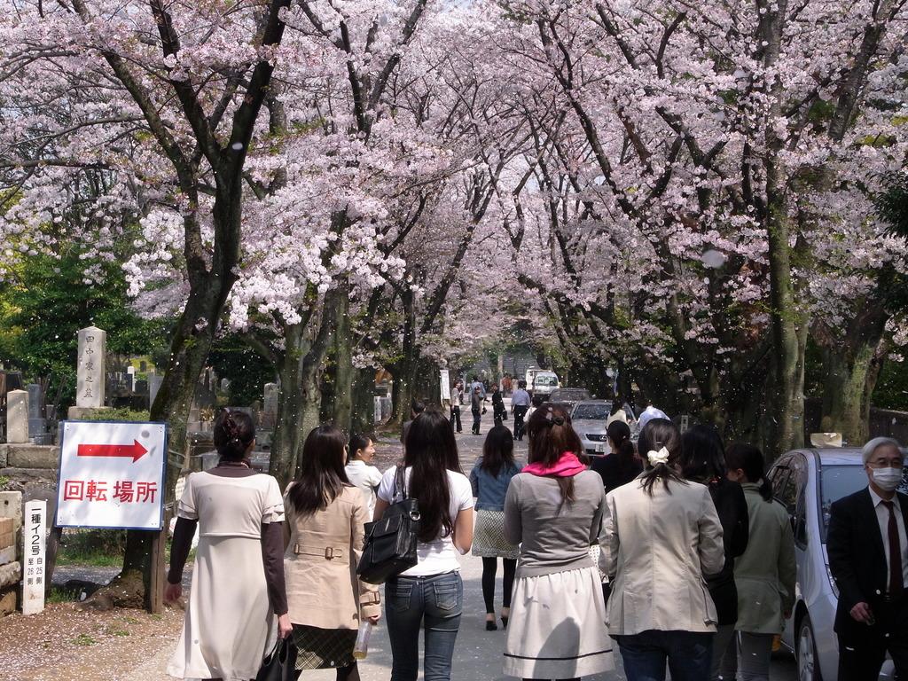 青山霊園 桜吹雪