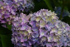 紫陽花の香りに誘われて