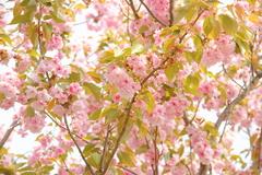 散り始めた八重桜