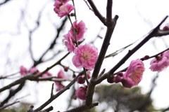 別府公園の梅1月31日