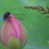 蓮の花でひと休み