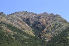 黒田庄の山桜