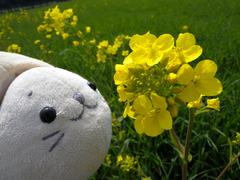 菜の花withたまおさん。