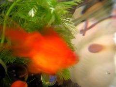 ビー玉金魚