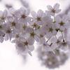 桜・花曇り