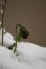 せっかく咲こうと思ってたのに・・・雪