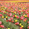 mix tulip