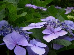 額紫陽花=紫=