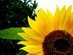 蜂さんと向日葵
