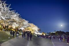 打出川治水緑地 桜の旅 6