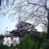 佐保川開花状況 3/28 4/5
