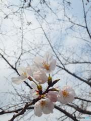佐保川の桜2019