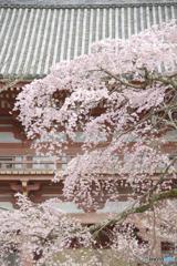 醍醐寺のしだれ桜 2