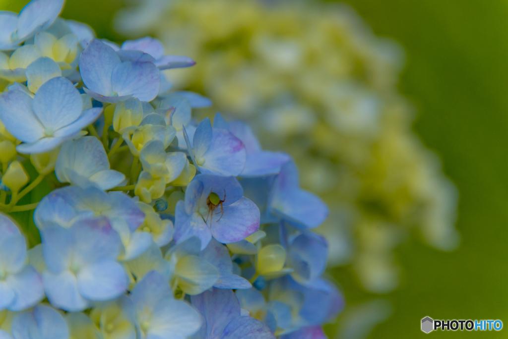 青い華 01