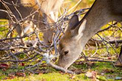 若草山の秋鹿