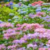 三室戸寺の紫陽花07