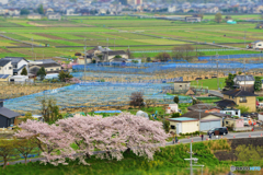 三室山の桜 4