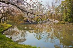 府立植物園 桜と池 topaz