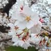 6~7分咲き です-01(4月6日)