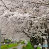 桜満開@佐保川沿い