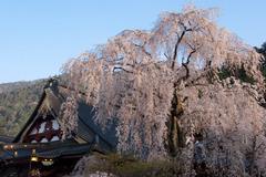 朝日を浴びる久遠寺桜