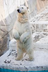 立つシロクマ