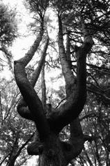 不思樹。1