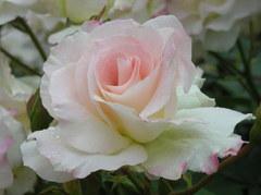 バラの白さにまぶしくて