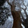 ヒメシャラの大樹