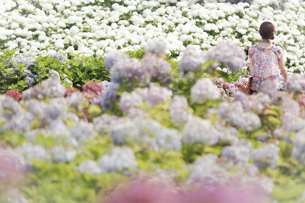 美白な紫陽花