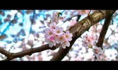 桜 満開です トリミング