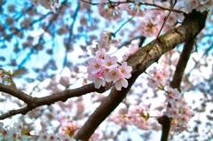 春だ!桜だ!