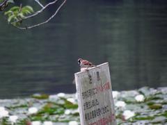 睡蓮と水とスズメ