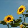 sunflower ~太陽の花~