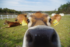 牛のにおい1